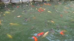 хранене на златни риби