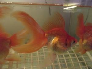 воална златна рибка (шлаер)