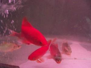 златни рибки и кои