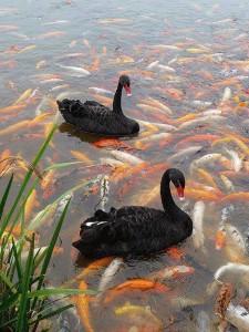 Лебеди и Кои