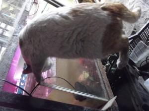 Белчо пие вкусна вода от аквариума