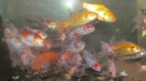 Златни рибки 10-12 см
