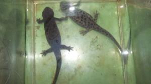 Иберийски саламандри