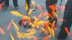 Златни риби Класик червени,Шабункин,Сараза,Канарино