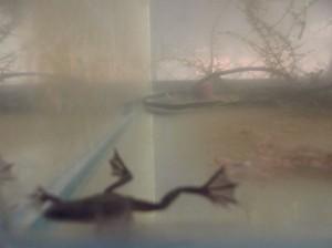 Африканска ноктеста жабка