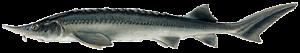 сибирска есетра