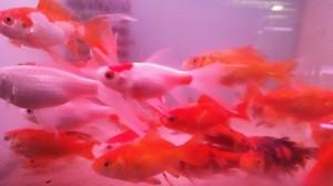 златни риби 8-10 см.